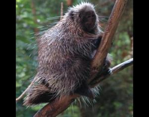 Picture of Porcupine by J. Roberts